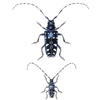 Examples of male and female beetles with long antennae