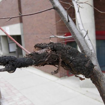 An example of an extreme case of Black Knot on a tree