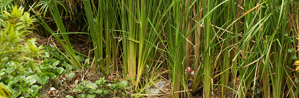 photo of native grasses