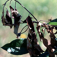 "A photograph of an apple tree with fire blight typical crooked or ""candy cane"" shaped leaves."