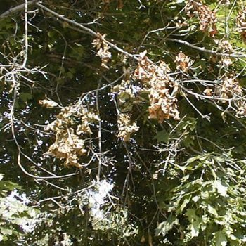 An example of verticillium wilt
