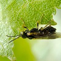 A birch leafminer on a leaf.