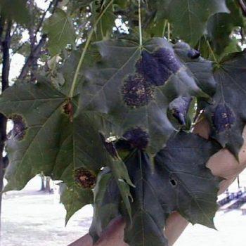 Tar spot on a leaf