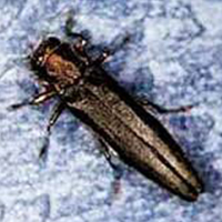 A photograph of the bronze birch borer adult beetle.