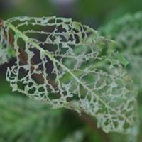 The skeletonising of a leaf.
