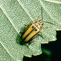 A photograph of the elm leaf beetle adult.