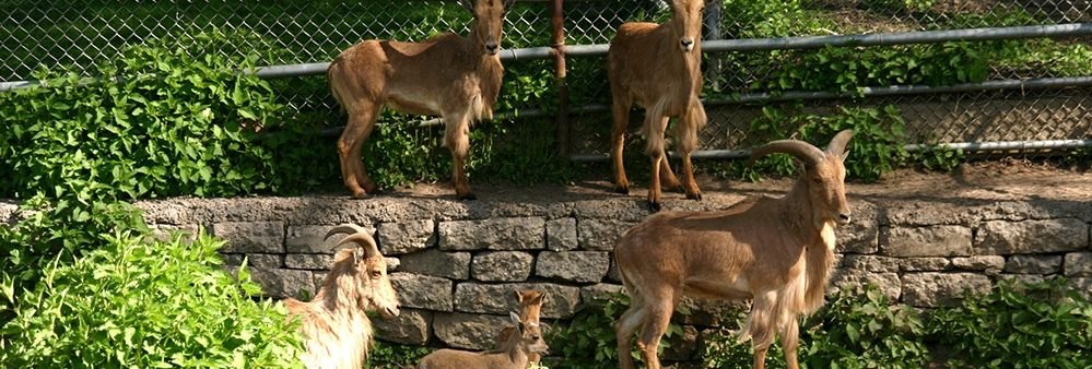 Barbary Sheep family standing together near trees and a multi-level wall