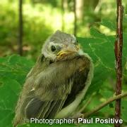 In South Humber Park, a juvenile Warbling Vireo is learning to fly. Both parents hover in a nearby tree while the young takes a break between flying lessons.