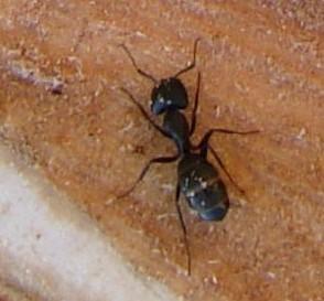 Close up of carpenter ant