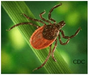 Black legged tick: 8 dark legs, head and half of body. Lower half of body is red.