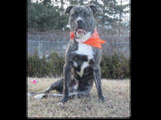 gray dog with orange bandana sitting in grass