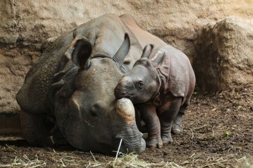Greater one-horned rhino Ashakiran snuggling with her male calf Kiran