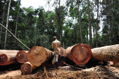 Man surrounded by large cut-down trees in forest.