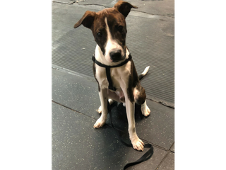 Jack Russel Terrier on leash looking at camera