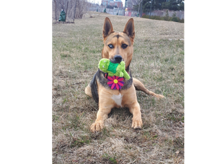 German shepherd sitting in grass with a toy in mouth