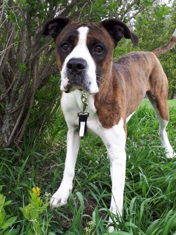 Boxer mix on a leash, in grass
