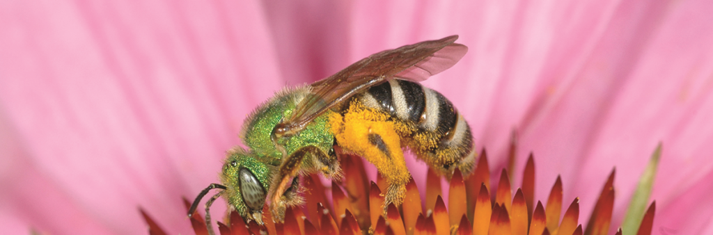 This bee has a brilliant bright green head and thorax combined with a black and yellow striped abdomen. This bee is shown collecting pollen from a flower.