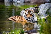 An Amur tiger lounges in a pond