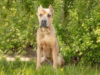 cane corso dog sitting in grass