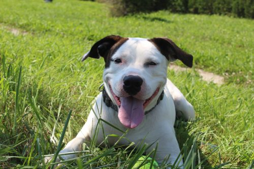 american bulldog mix in grass with tongue out