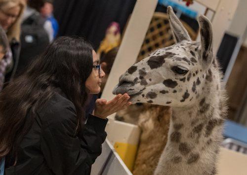 Woman face-to-face with Llama at Royal Fair