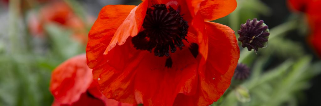 close up picture of a red poppy flower in a field