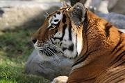 A majestic Amur tiger.