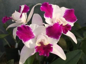 closeup of orchids. dark and light pink.