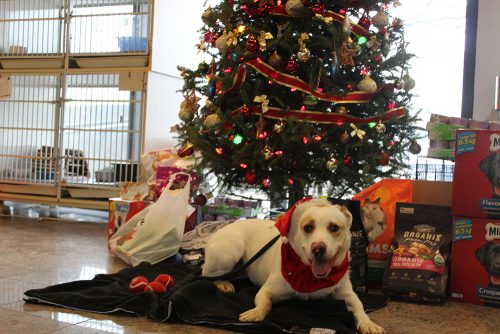 Second Chance Dog Lola sitting in front of a Christmas tree