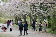People taking pictures of cherry blossom trees.
