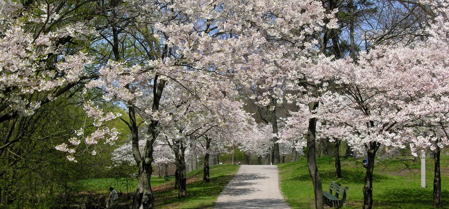 cherry blossoms - pathway with cherry trees at High Park
