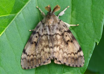top view of a Gypsy Moth resting on a green leaf showing the mottled brown wing colour of the insect