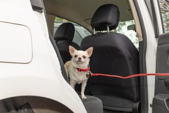 A dog being let out of a vehicle on a hot summer's day