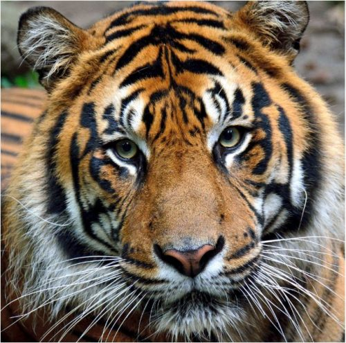 Image info: Harimau Kayu - Sumatran Tiger, Tiger Day. closeup of tiger's head, looking into camera