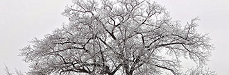 Historic oak tree in winter located at 76 Coral Gable Dr.