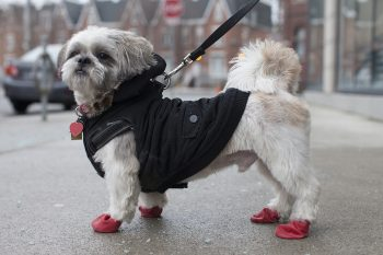 A dog wearing winter boots for protection from the cold sidewalks