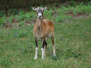 A mouflon sheep stands on grass, facing the camera.