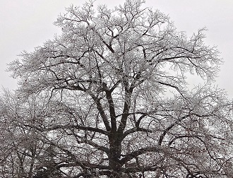 Oak tree in the winter season.