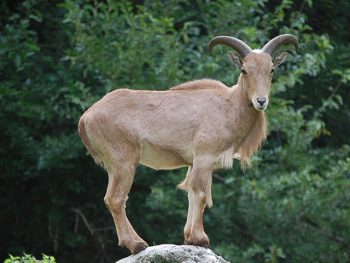 A barbary sheep stands on a rock and looks at the camera.