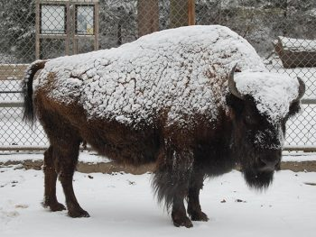 A bison stands with snow on its back and head.