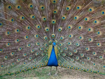 A male peacock shows of his feathers.
