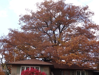 Oak tree in the fall season with bright red leaves.