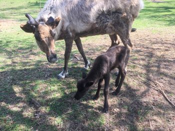 Reindeer and calve at High Park Zoo