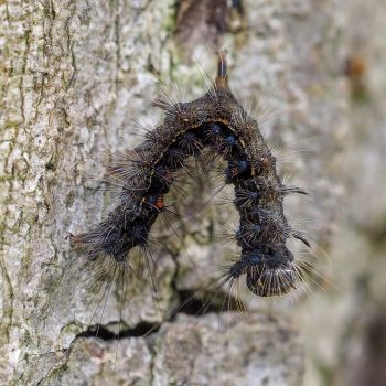 A EGM caterpillar hangs limp from a tree.