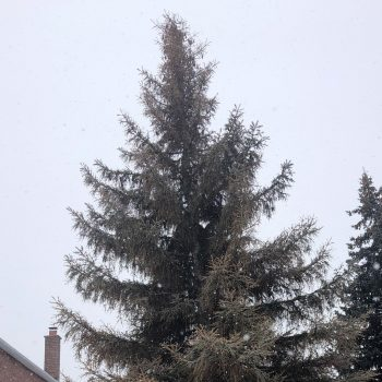 A spruce tree with a significant amount of brown needles.