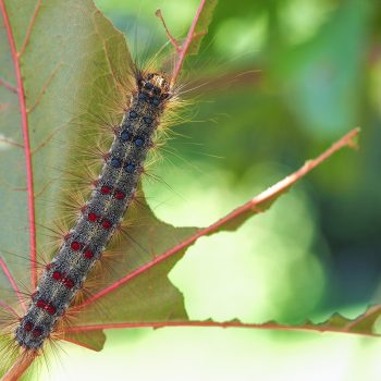 An older caterpillar showing characteristic spots, resting on a severely defoliated leaf