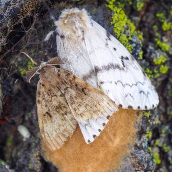 A brown male moth is smaller than the cream-coloured female.