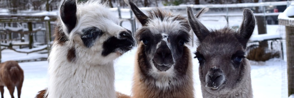 Three woolly adult llamas stare into the camera in this winter-time photograph in their outdoor enclosure at High Park Zoo. Llamas stand about as tall as an adult human. They are social animals and communicate by hums and grunts, but also through a variety of ear, body and tail postures.