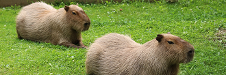 Two brown, dark-eyed adult capybaras cool off in their outdoor pool at High Park Zoo. Capybaras resemble large guinea pigs, or large beavers without tails, and can grow to about 130 centimeters long. They can sleep in water, with their noses poking above the surface.