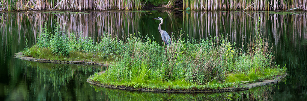 A great blue heron sitting on a small island in a pond.